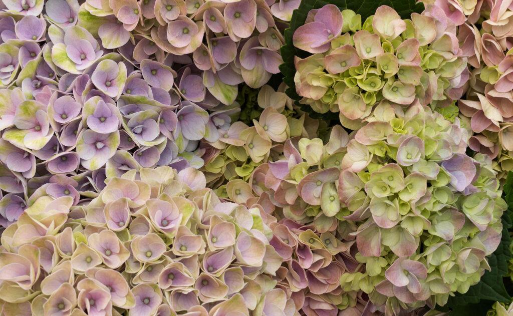 Hydrangea Magical Floreac
